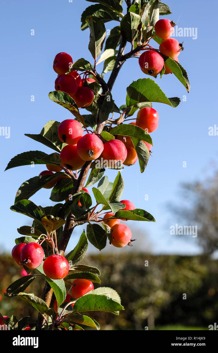 Small cherry-size red crab apples on Malus x robusta Red Sentinel growing in an English garden in October suitable for a patio garden - Stock Image