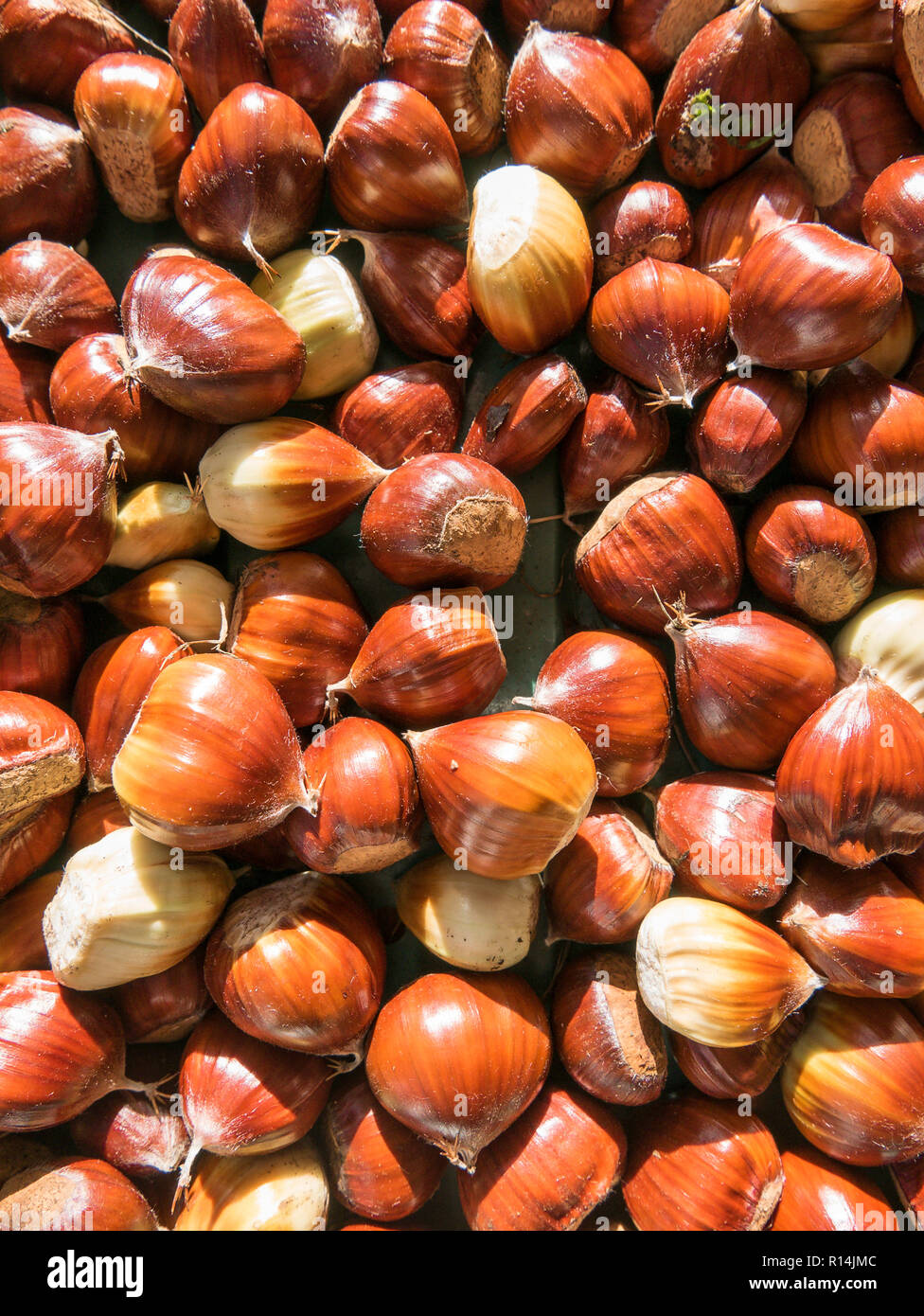 Freshly collected fallen sweet chestnuts from a tree in an English garden in October in UK - Stock Image