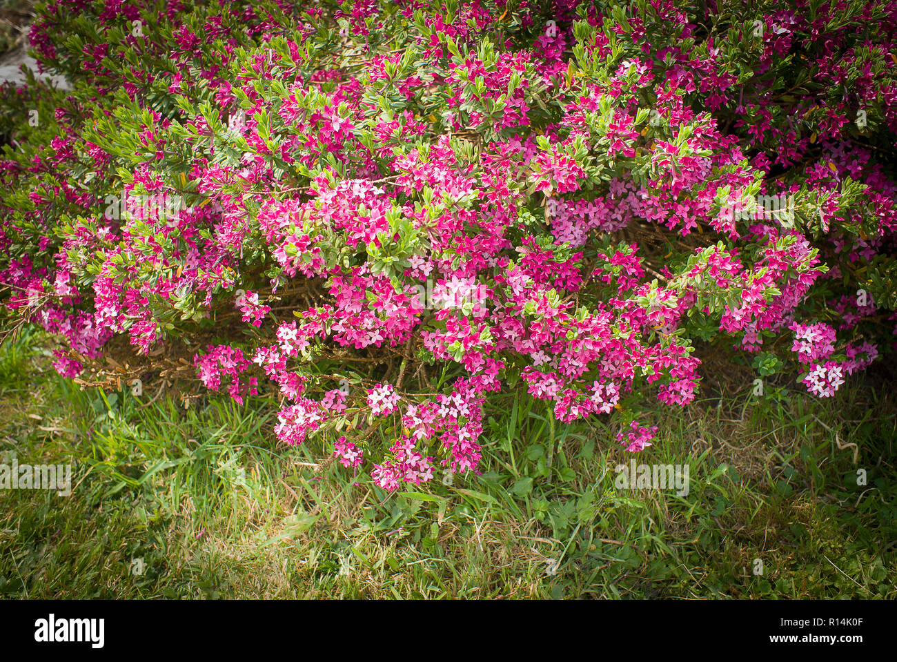 Daphne cneorum in flower in an English garden in May - Stock Image