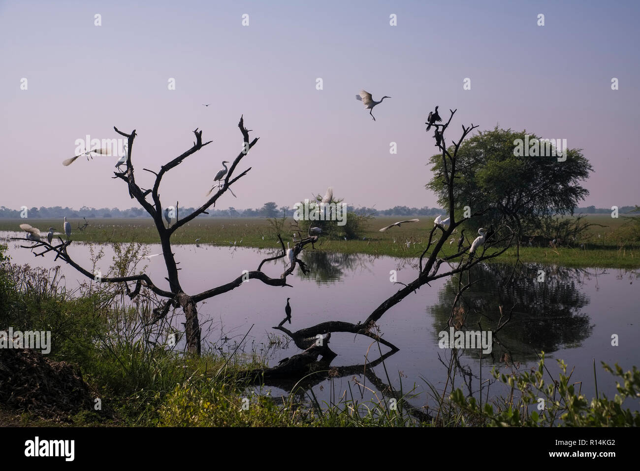 Bharatpur Bird Sanctuary,great egret,chormorant,colony,at waterpool,Rajasthan,India. - Stock Image