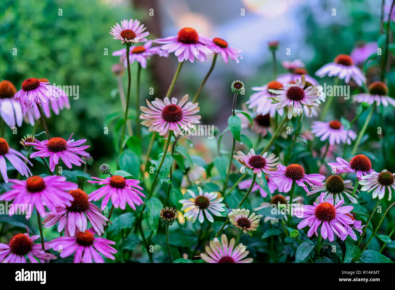 Bright picturesque blooming street flowerbed in purple shades. Beautiful seasonal floral background for different topics - Stock Image