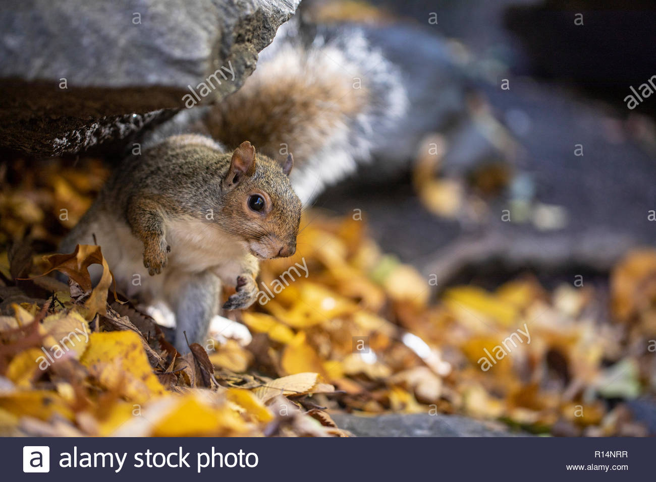 Eastern Grey Squirrel in Central Park 2018 - Stock Image