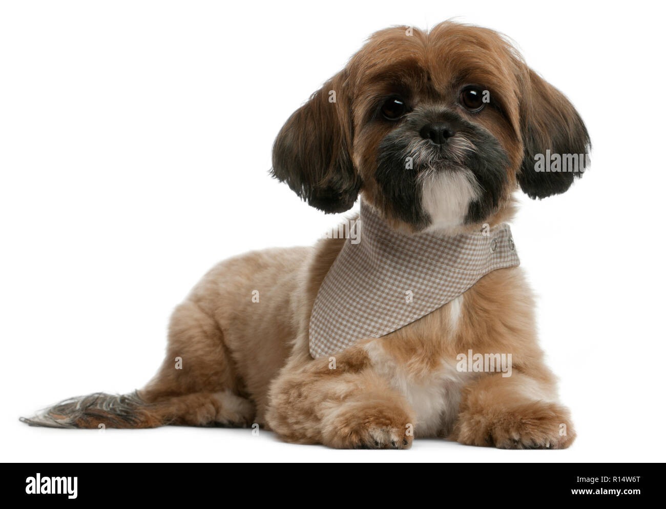 Lhassa Apso, 1 year old, lying in front of white background - Stock Image
