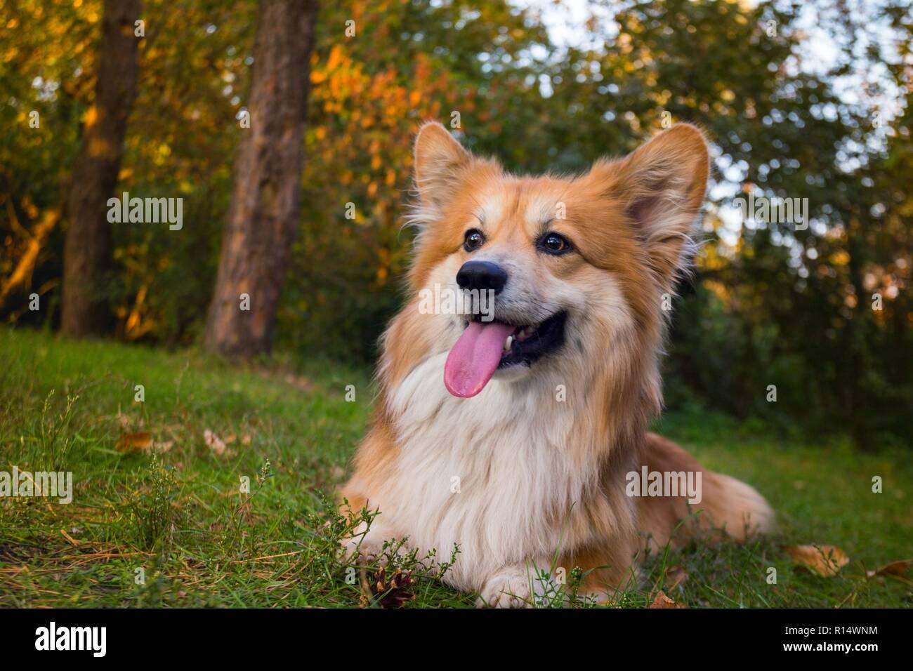 beautiful corgi fluffy portrait at the outdoor. autumn - Stock Image