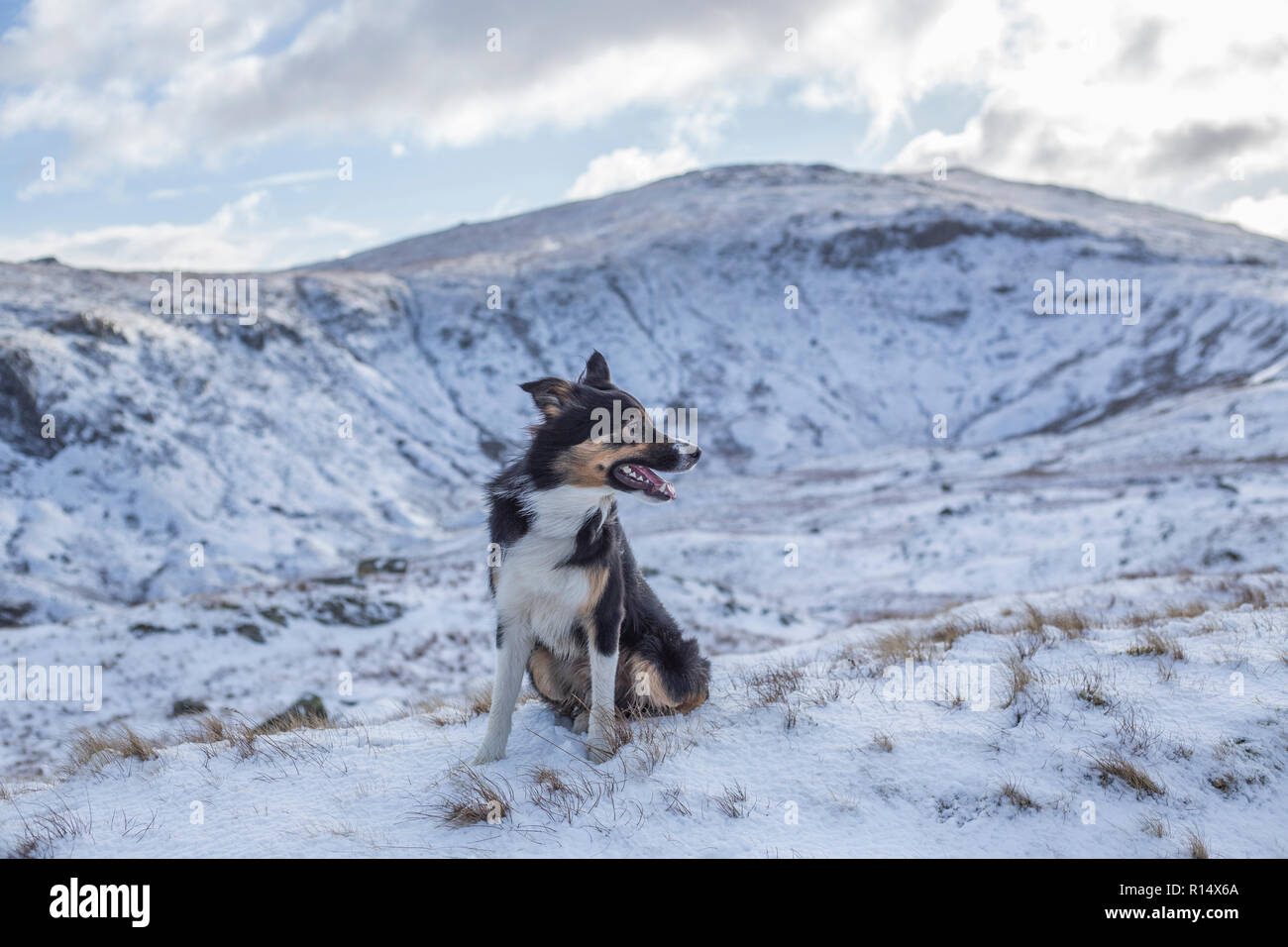 A tricoloured border collie surrounded by snow covered mountains, looking away from the camera as if searching the landscape for something. - Stock Image
