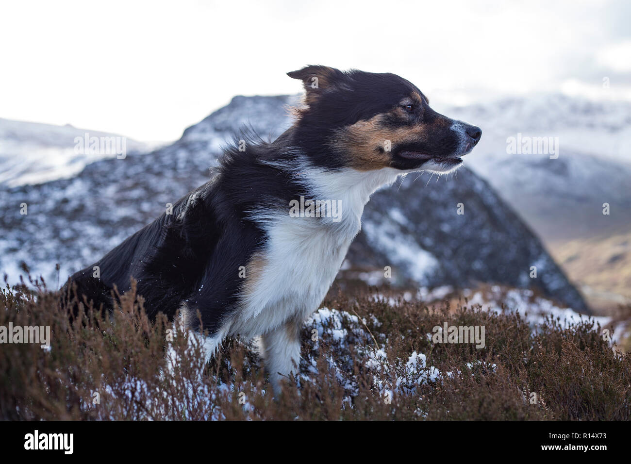 A tricoloured border collie sat on a rock out crop covered in snow and A tricoloured border collie sat on a rock out crop covered in snow and heather - Stock Image