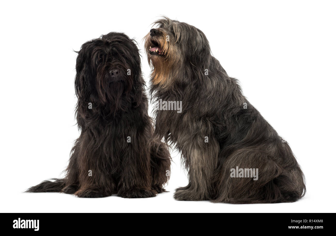 Couple of Catalan sheepdogs sitting together, panting, isolated on white - Stock Image