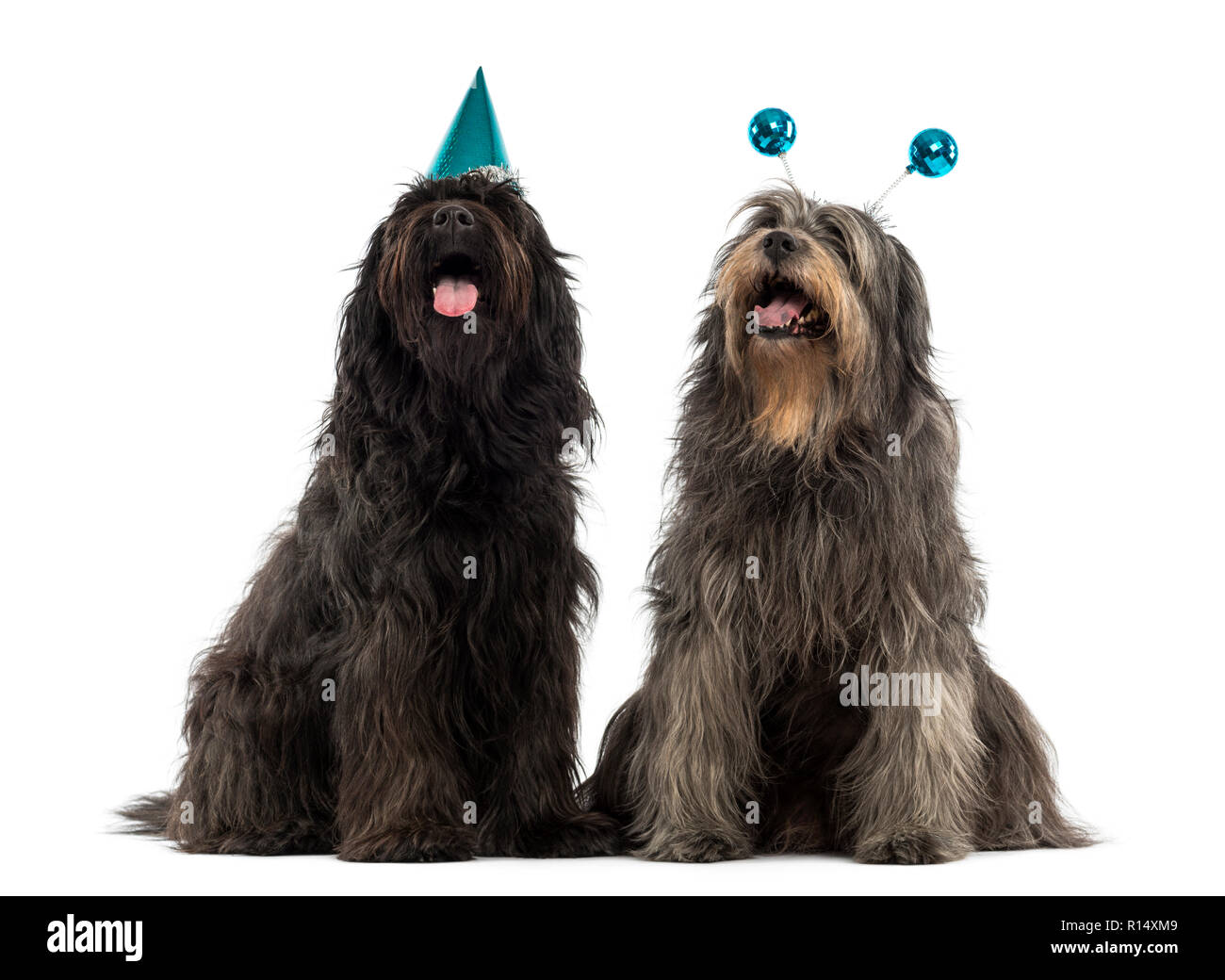Couple of Catalan sheepdogs wearing party hats, panting, isolated on white - Stock Image