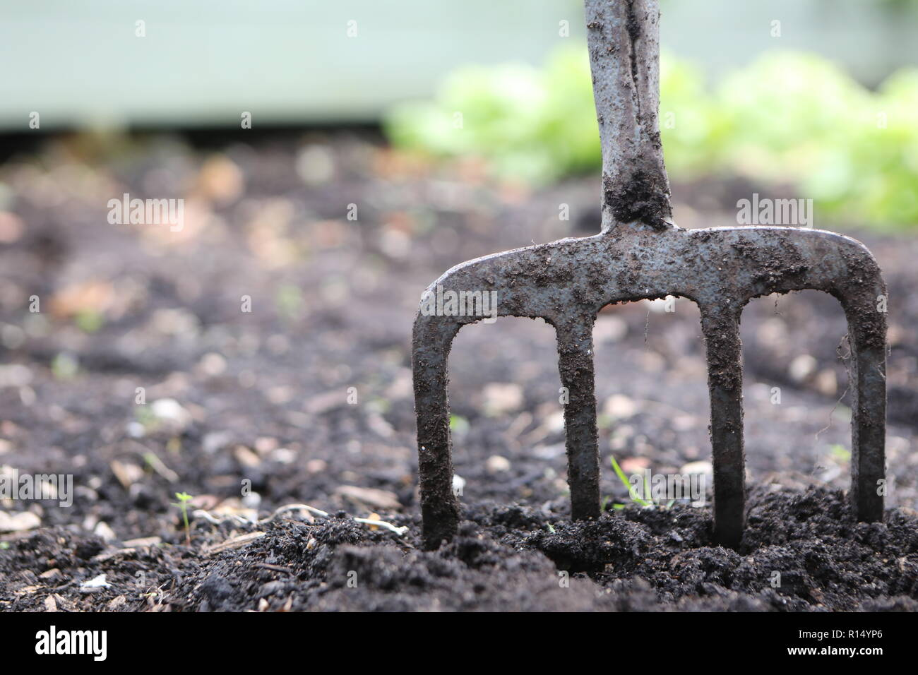 Garden fork in a vegetable patch - Stock Image