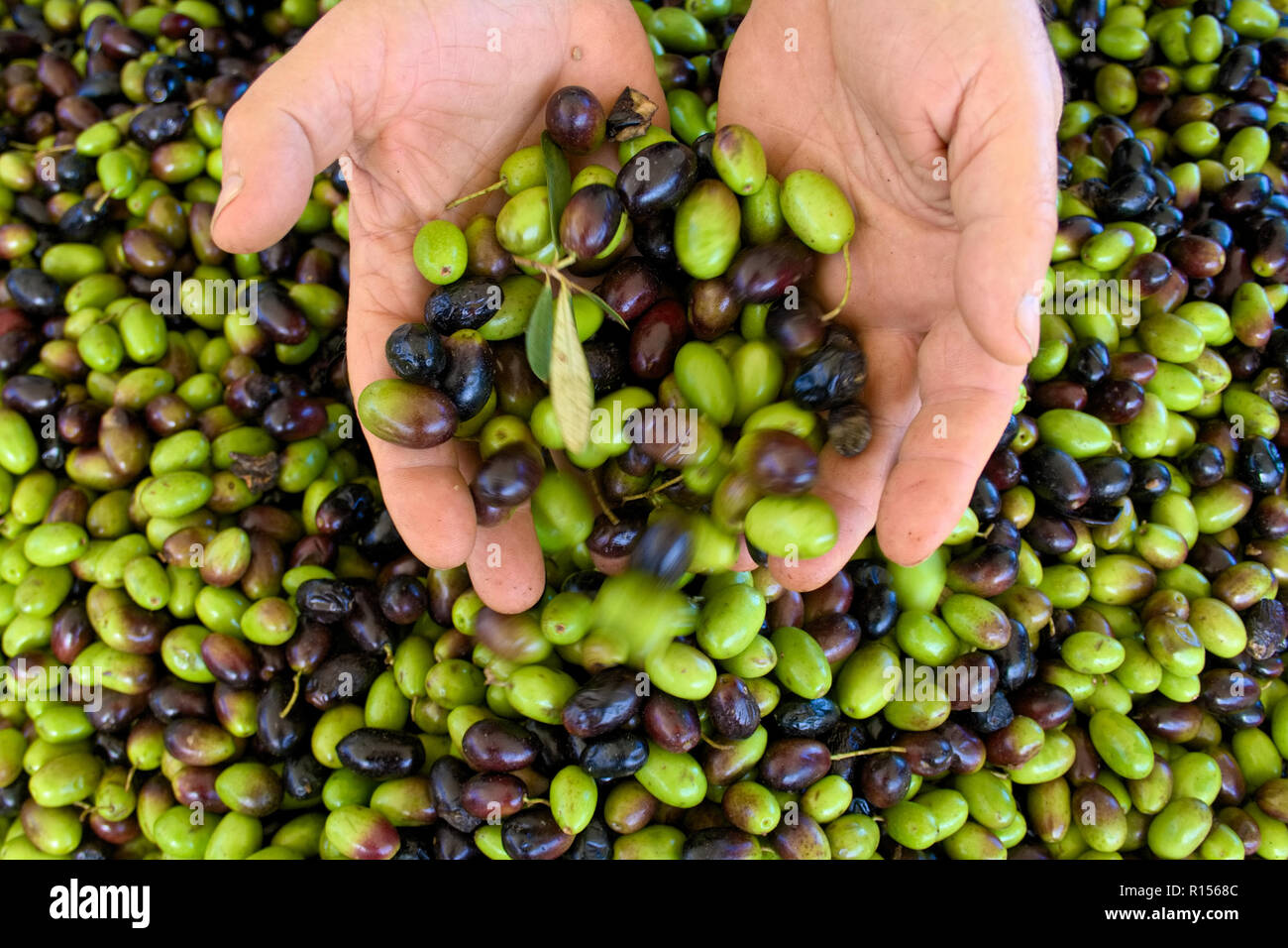 Green and black olives ready to be processed at the mill to get the olive oil in the hands of the farmer Stock Photo