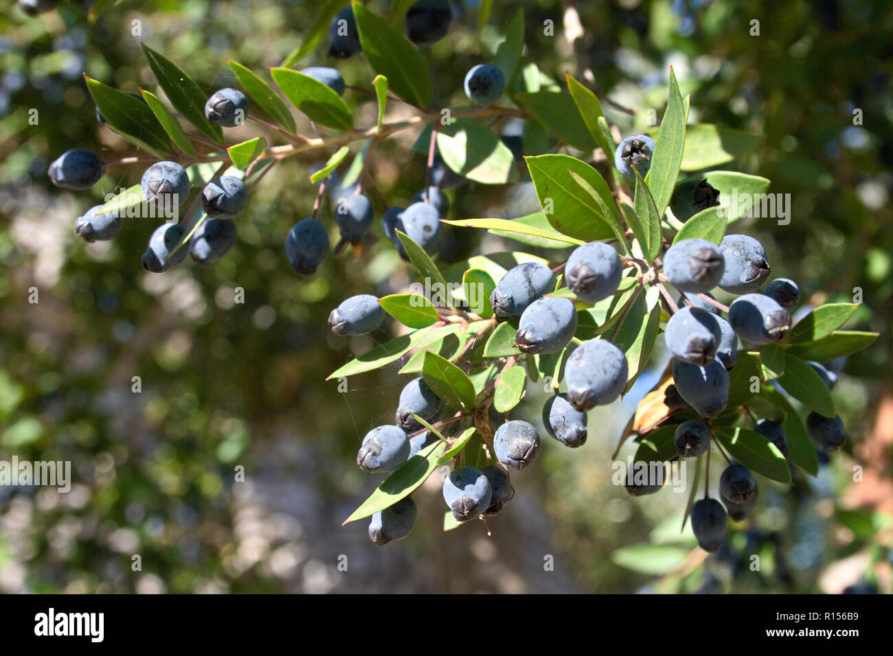 Myrtus communis with fruits, the Common myrtle, from the family Myrtaceae - a typical Mediterranean plant - Stock Image