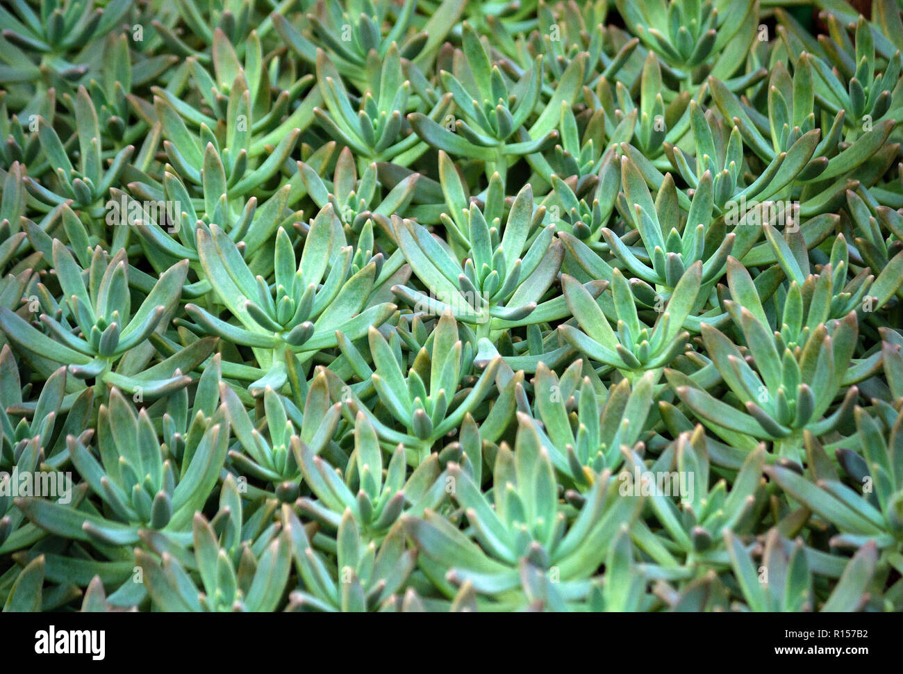 sedum succulent plant with pale blue green, thick and fleshy leaves, many plants growing in the garden, leaves occupy the whole picture, oblong plump Stock Photo