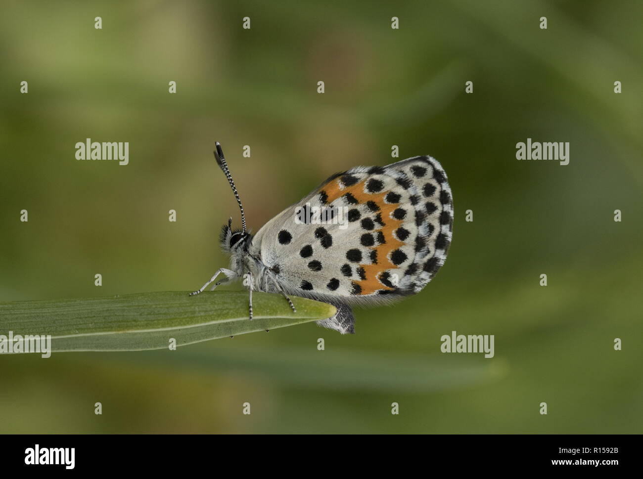 Chequered Blue, Scolitantides orion settled on leaf in limestone grassland, Croatia. - Stock Image