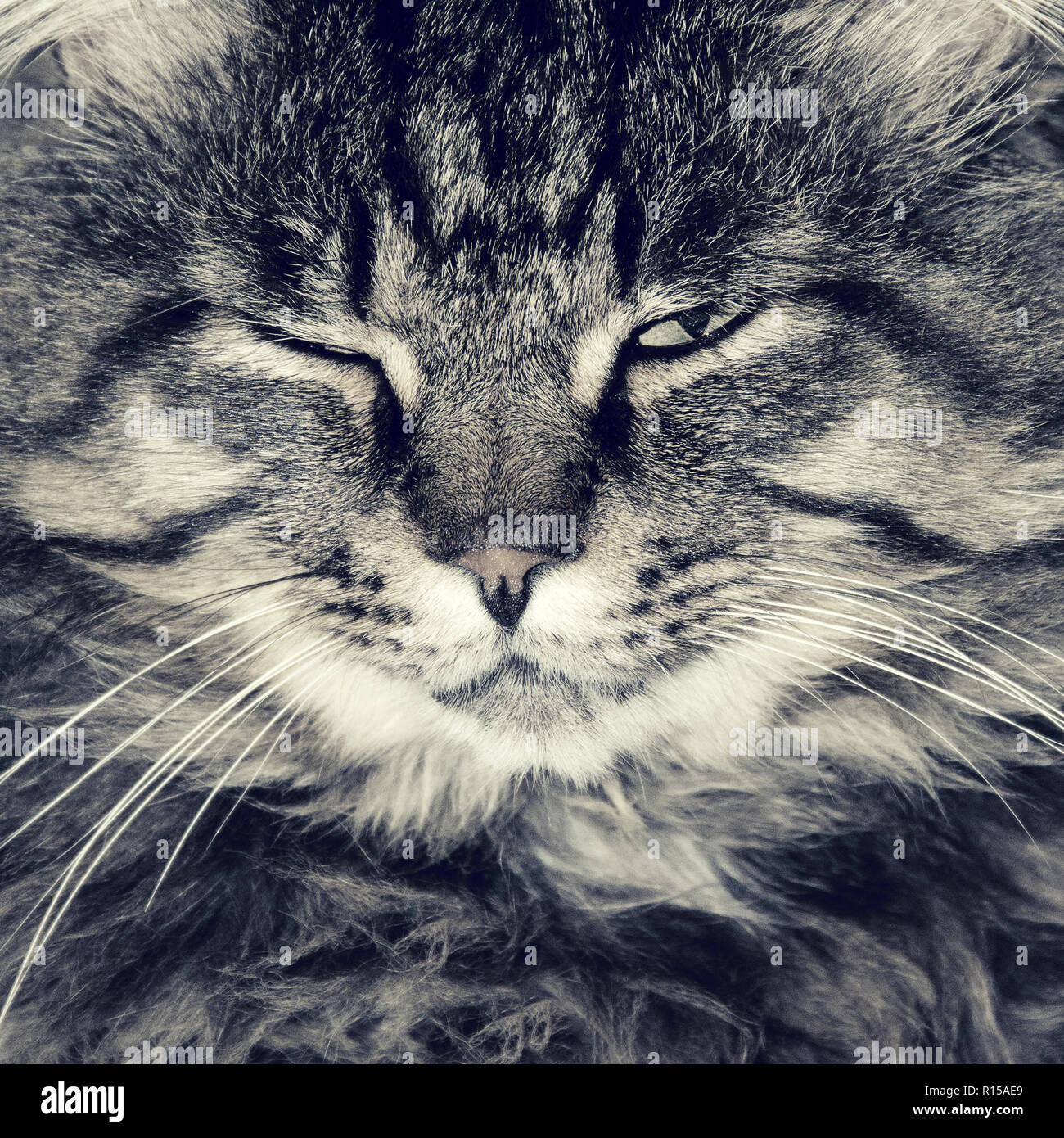 angry striped cat or kitten indoors. photo - Stock Image