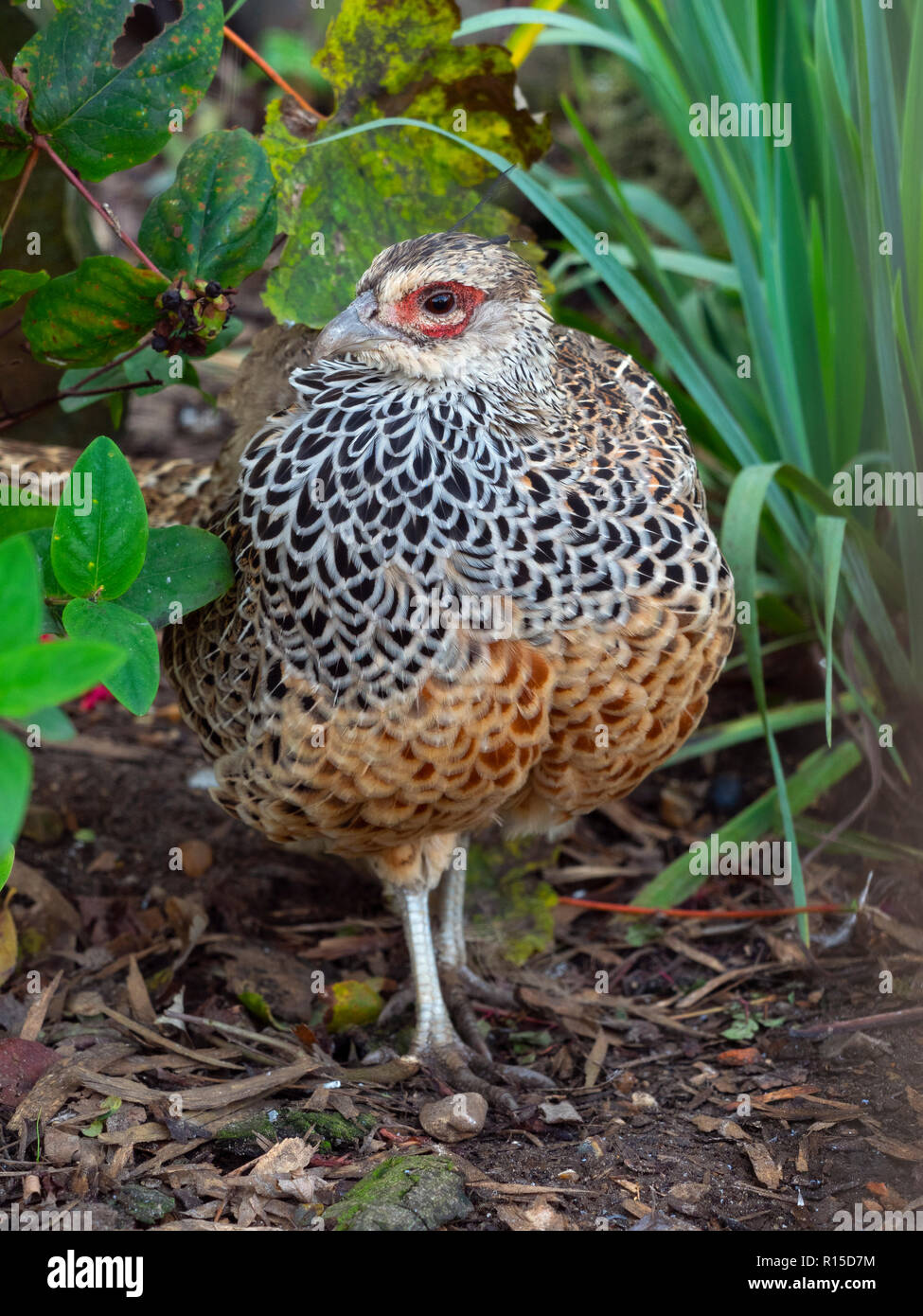 Cheer pheasant Catreus wallichii male CAPTIVE - Stock Image