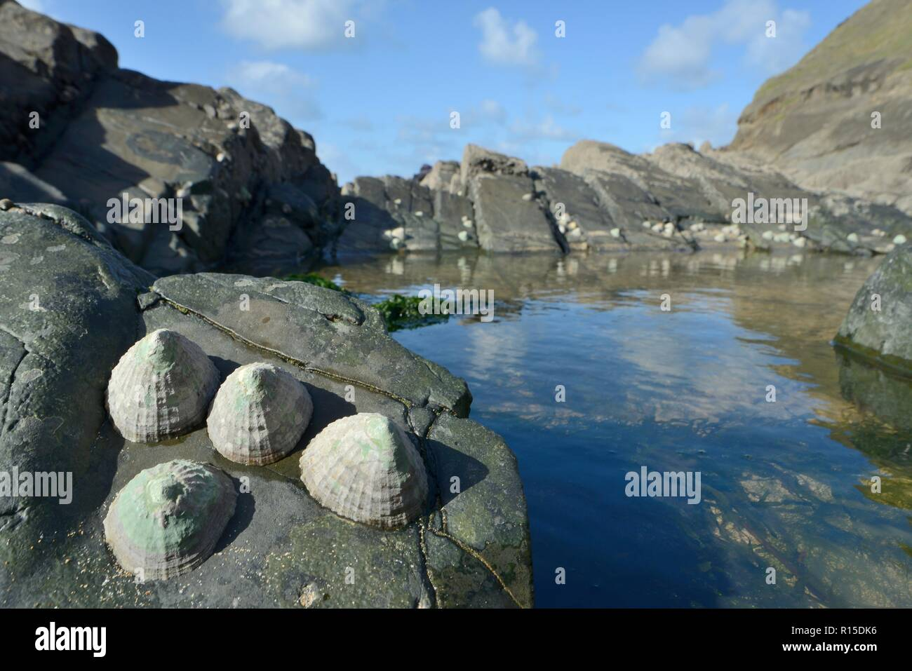 Common limpets (Patella vulgata) attached to rocks fringing a rock pool exposed at low tide, Duckpool Beach, Cornwall, UK, September. - Stock Image