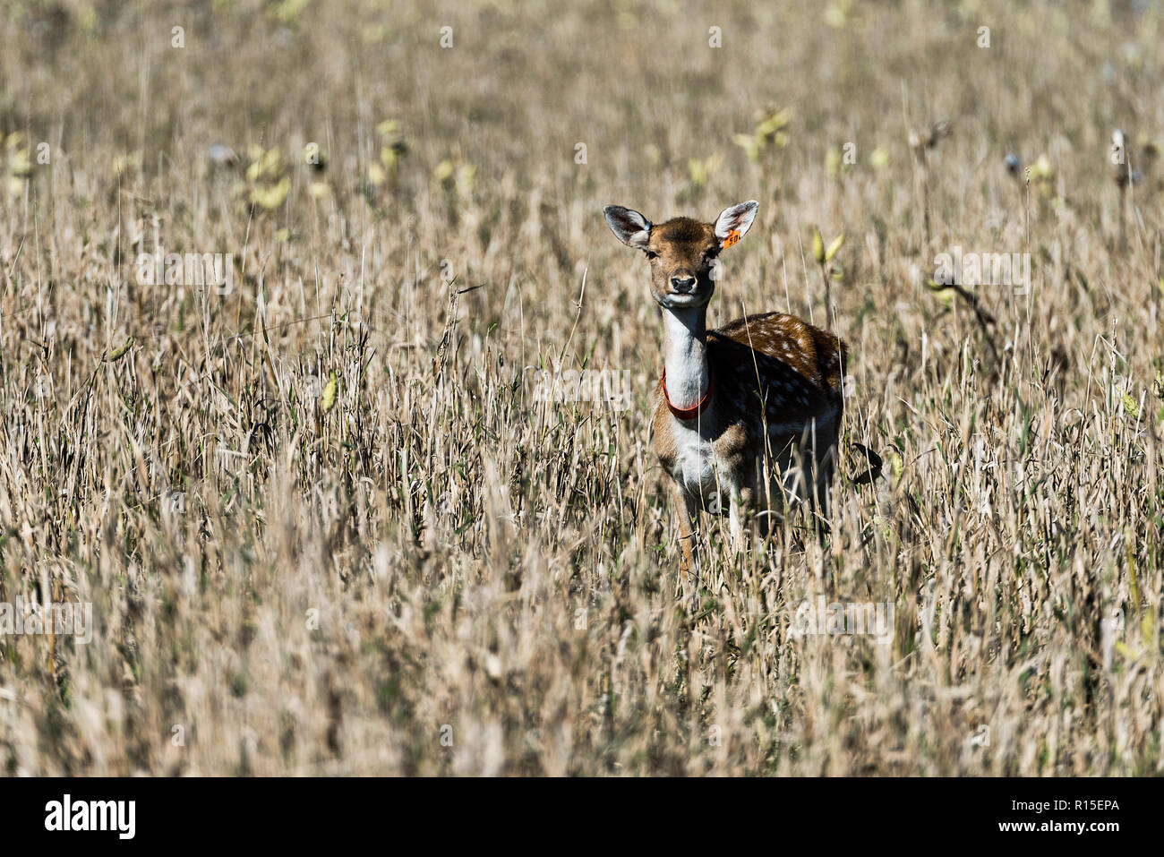 Young deer feeding in the enclosed pasture of a commercial deer farm, LedgEnd Farm, Middlebury, Vermont, USA. - Stock Image
