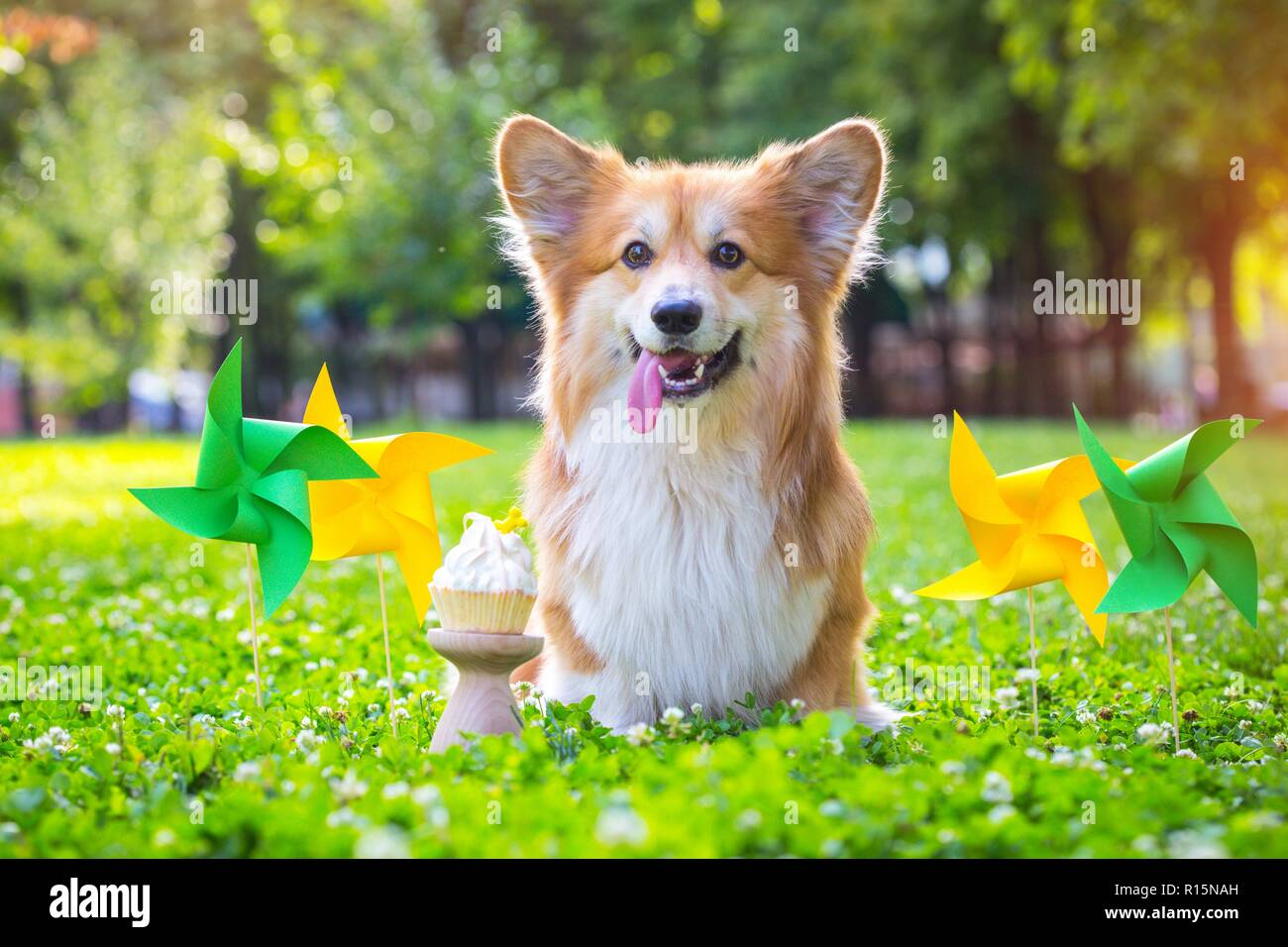 birthday off beautiful corgi fluffy on green lawn and colorful party flags on the background - Stock Image