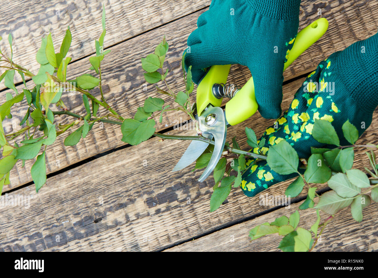 Hands dressed in green gloves holds pruner and shears the branch of rose bush on wooden background. Garden tools. - Stock Photo