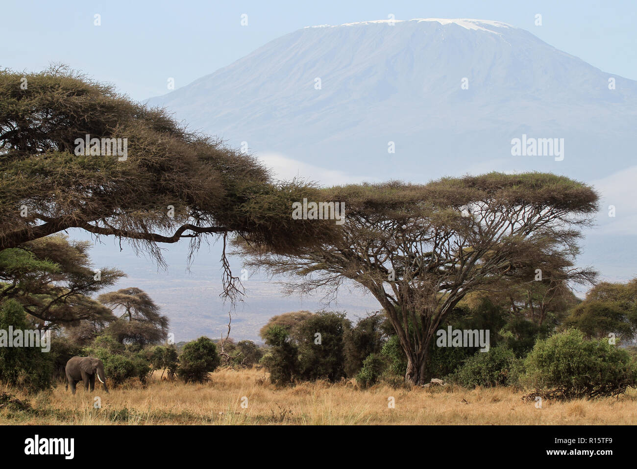 An elephant in front of the mount Kilimanjaro - Stock Image