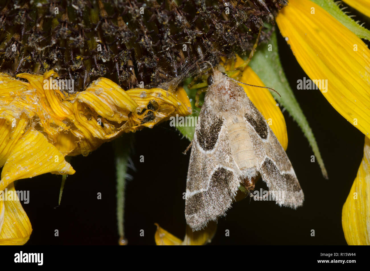 Crab Spider, Family Thomisidae, with Ragweed Flower Moth, Schinia rivulosa, on sunflower, Helianthus sp. Stock Photo