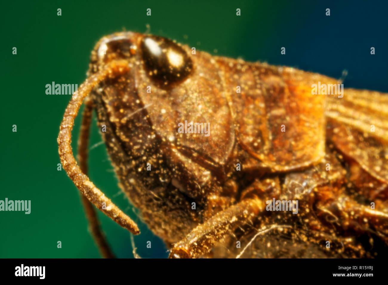 Photo Grasshopper (Tettigonioidea),superfamily orthopterous insects, long-boiled suborder - Stock Image