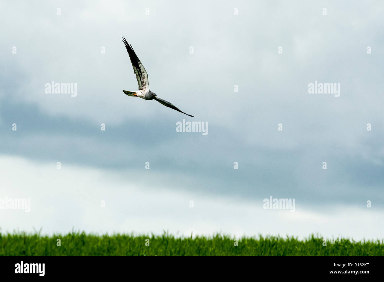 Montagu's harrier (Circus pygargus), Male flying above the fields Stock Photo