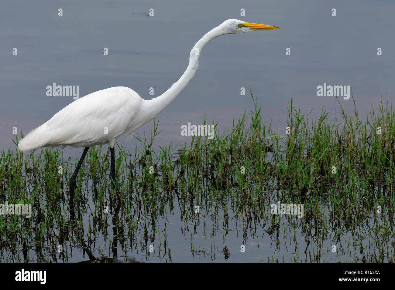 Egret kneed deep in water - Stock Image