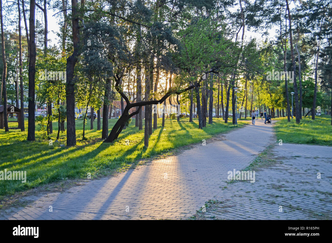 The sunset sun shines beautifully through the tree in the park - Stock Image