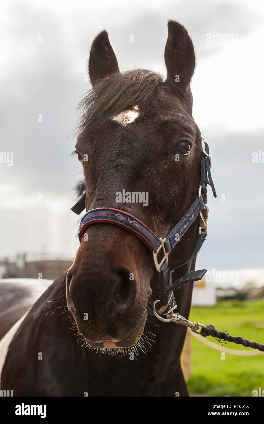 Brown and white gelding horse - Stock Image