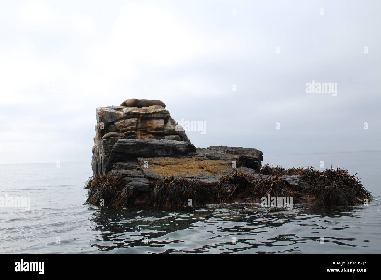 Sea wolf sunning itself on rocks in the Pacific Ocean. - Stock Image