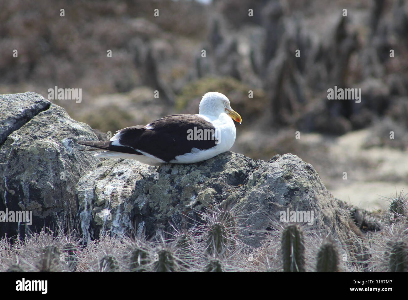 Seagull resting in the morning over rock of Isla Damas, Chile. Stock Photo
