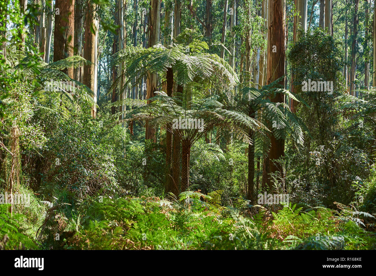 Rainforest with Tree ferns (Cyatheales) and Eucalyptus regnans trees (Eucalyptus regnans), Dandenong-Ranges-Nationalpark - Stock Image
