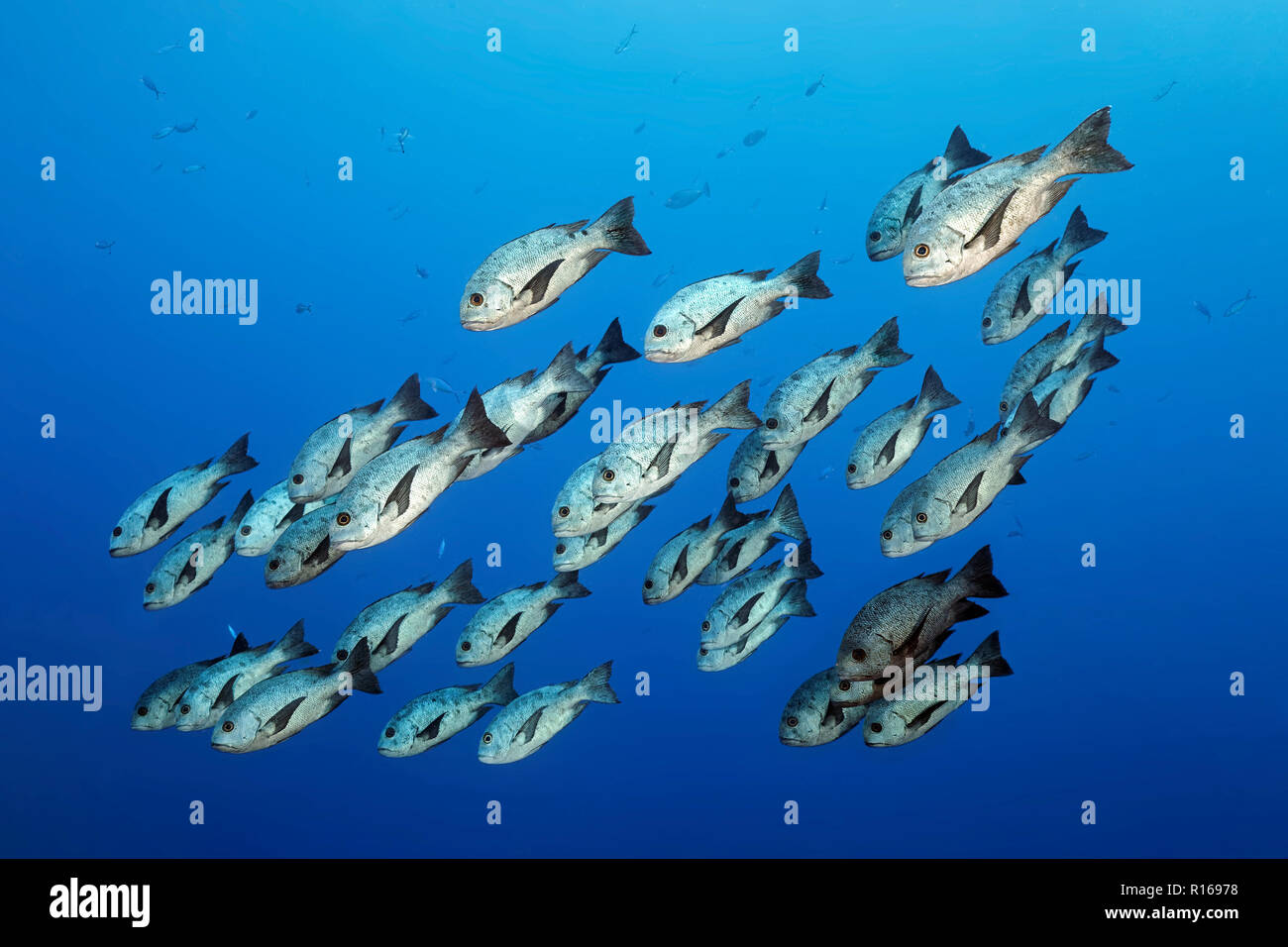 Swarm Black-White Snapper or Black and white snapper (Macolor niger) swimming in the open sea, Great Barrier Reef, Pacific - Stock Image
