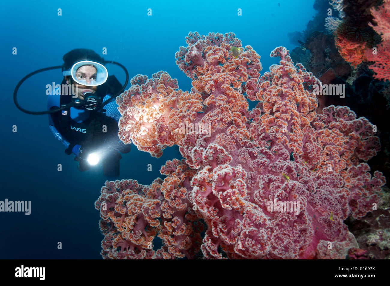 Diver with Lamp viewed large soft coral (Dendronephthya mucronata), red, Great Barrier Reef, Pacific, Australia - Stock Image