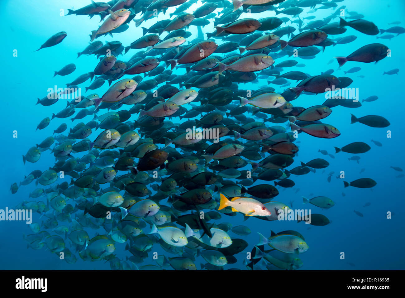 Schoolmaster snapper (Lutjanus apodus) associated with swarm Elongate Surgeonfish (Acanthurus mata), Pacific, Queensland - Stock Image