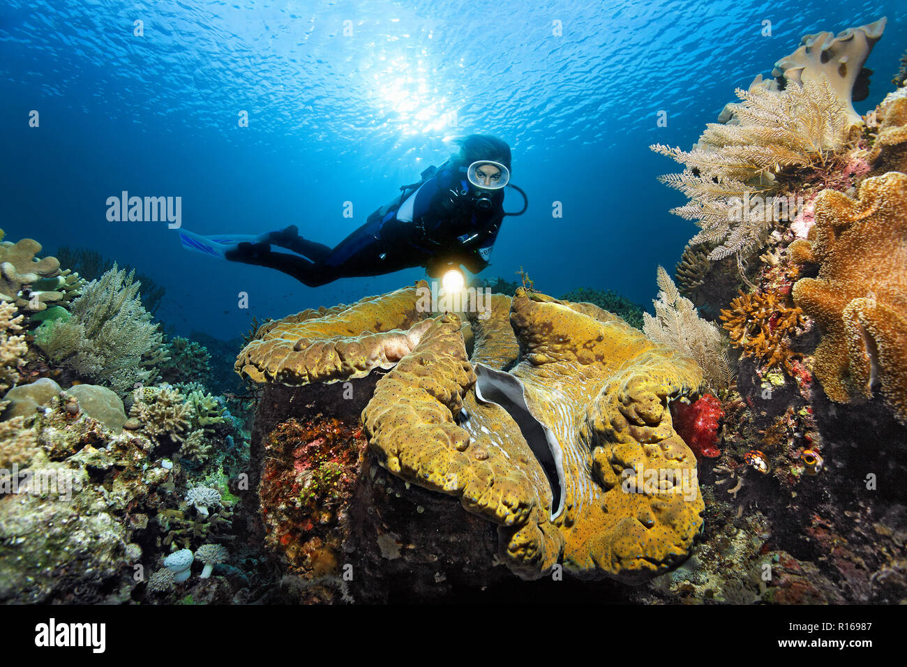 Diver viewed with lamp Giant clam (Tridacna gigas), Backlight, Sun, Pacific, Queensland, Australia Stock Photo