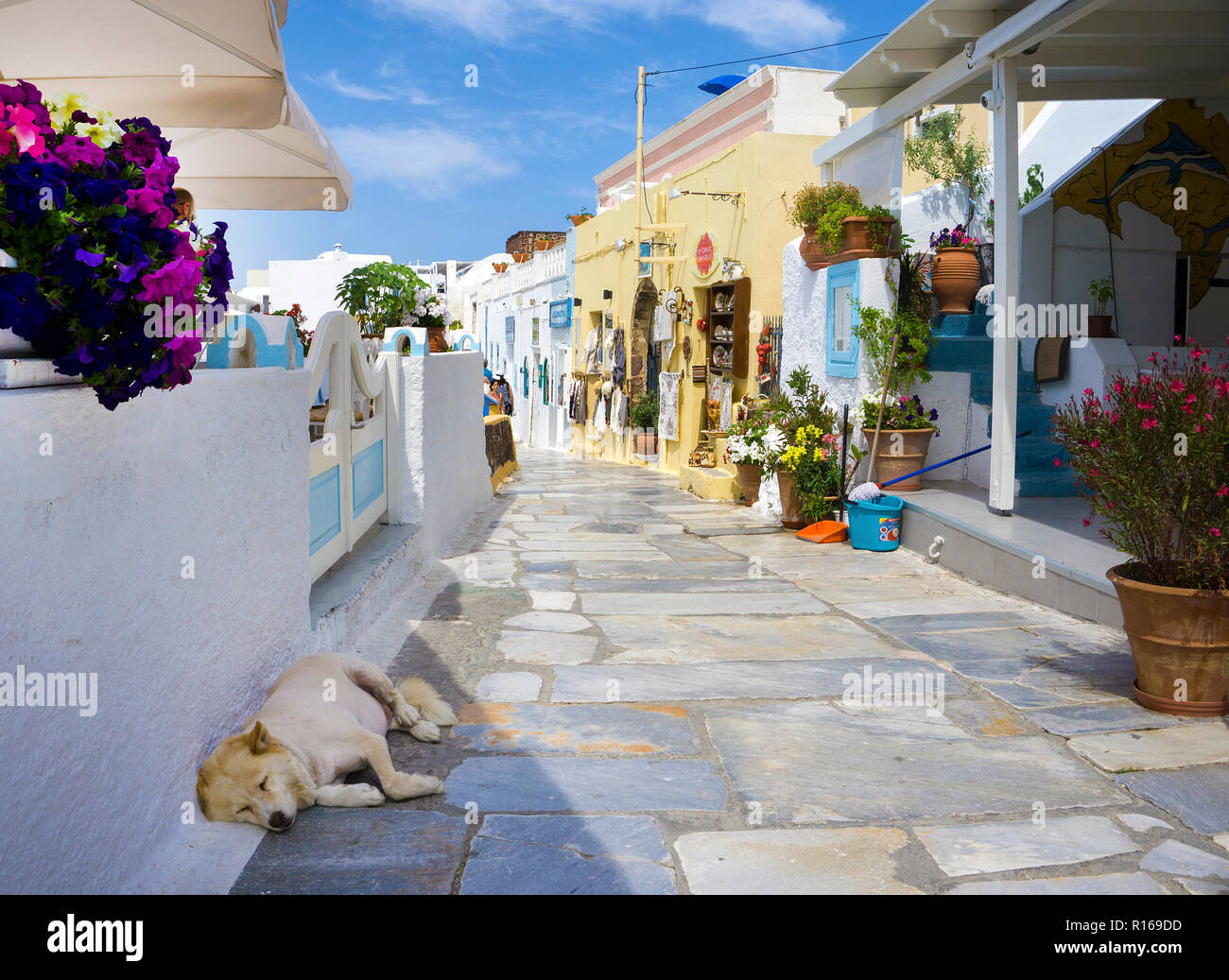 Sleeping dog at the flower-decorated alley in Oia, Santorini, Cyclades, Aegean Sea, Greece - Stock Image