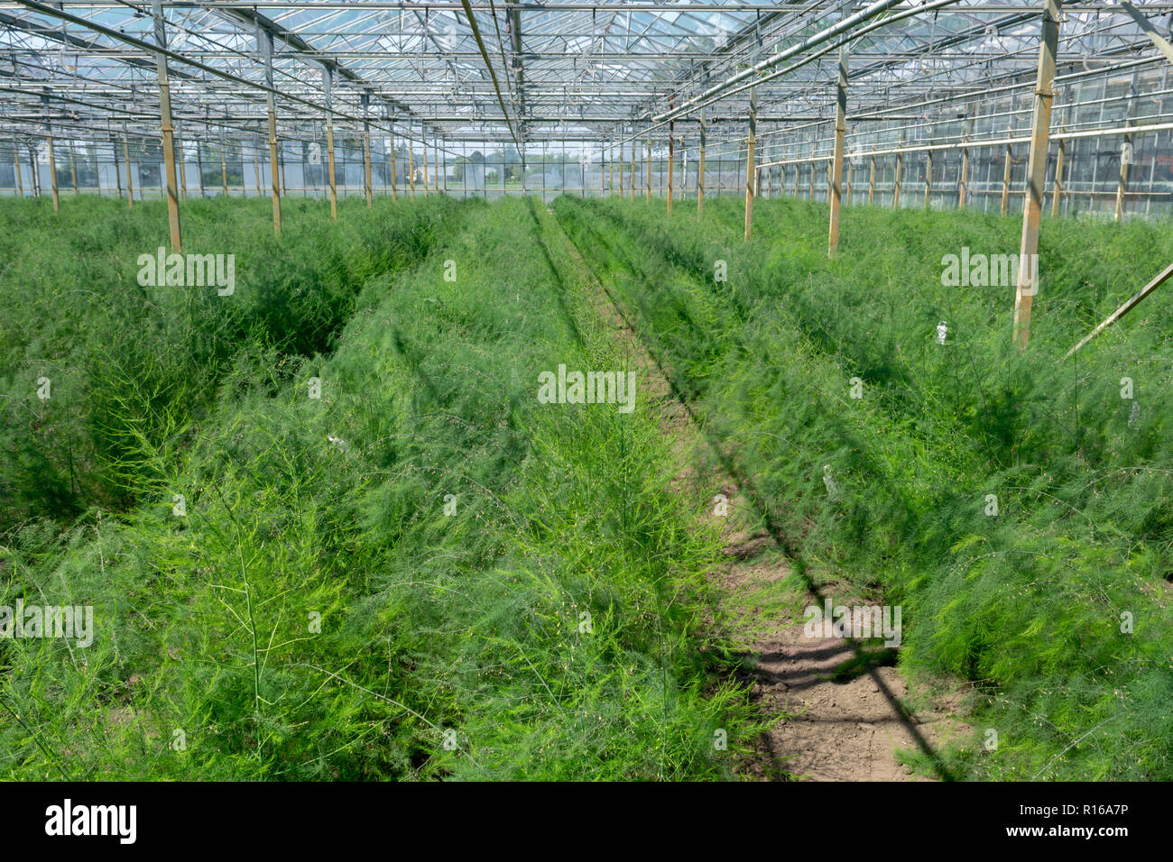 Growing Green Asparagus Plants For Seeds In Greenhouse Stock Photo Alamy