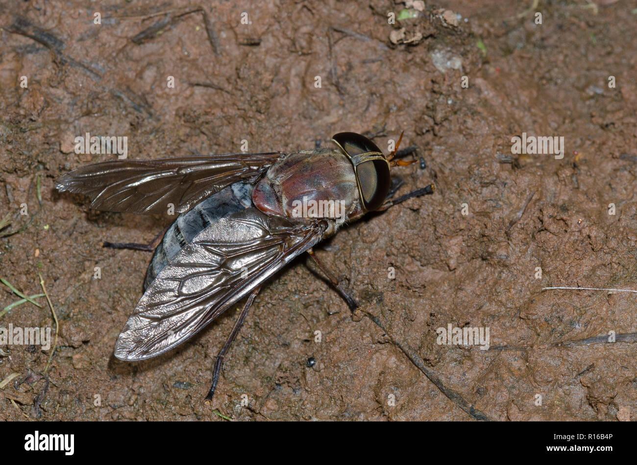 Horse Fly, Subfamily Tabaninae Stock Photo
