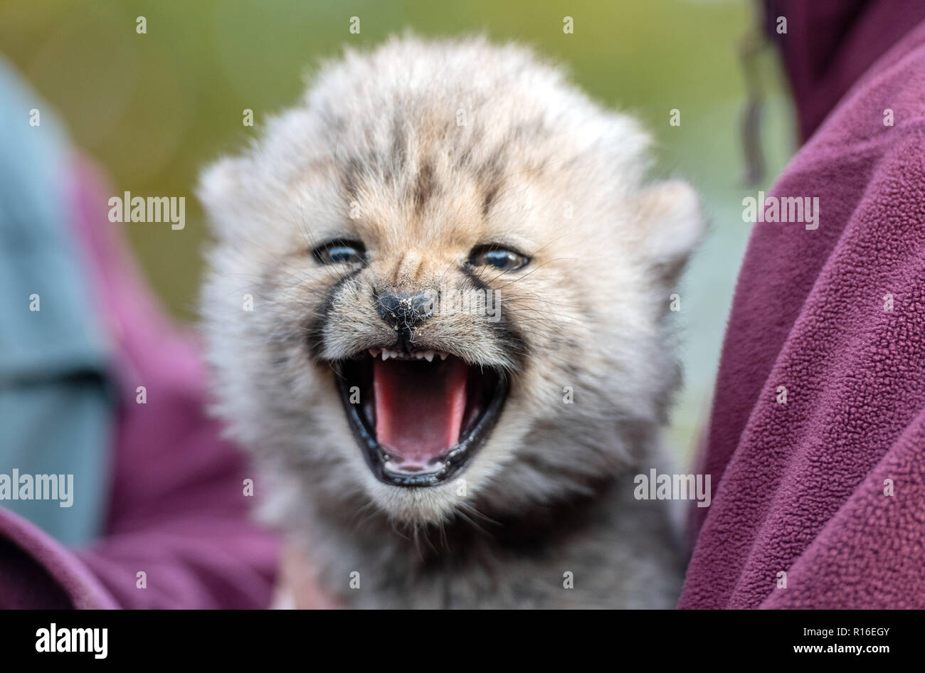 Münster Zoo, Germany. 09 November 2018, North Rhine-Westphalia, Münster: A young cheetah hisses on his nurse's arm. On 4 October three young animals were born in the all-weather zoo. Breeding the animals is considered difficult. Photo: Bernd Thissen/dpa Credit: dpa picture alliance/Alamy Live News - Stock Image