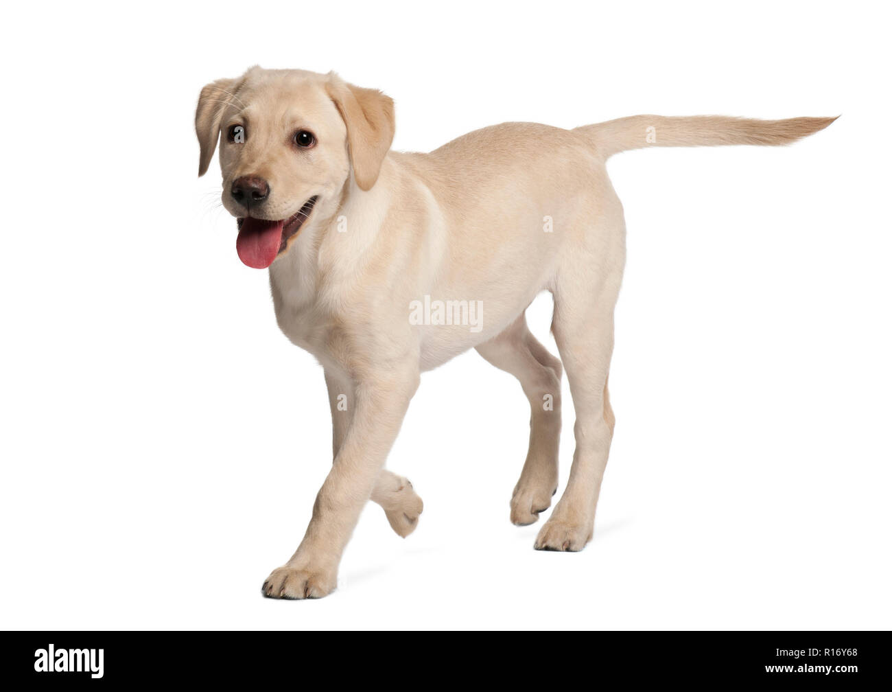 Young Labrador Retriever 4 Months Old Stock Photo Alamy