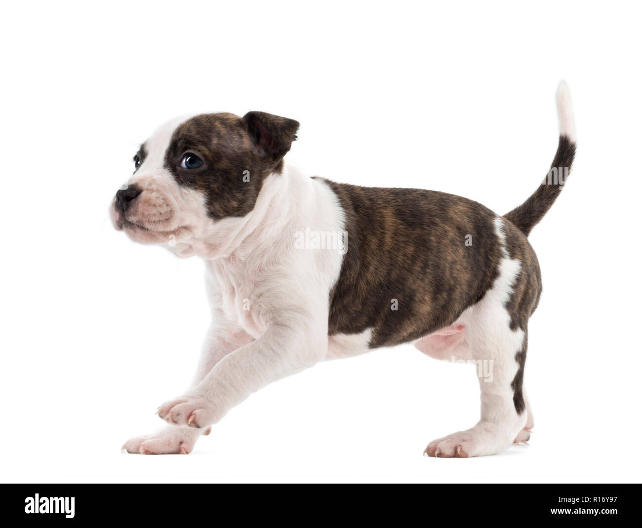 American Staffordshire Terrier Puppy running, 6 weeks old