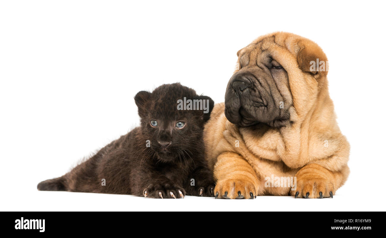 shar pei puppy and black leopard cub lying down next to each other