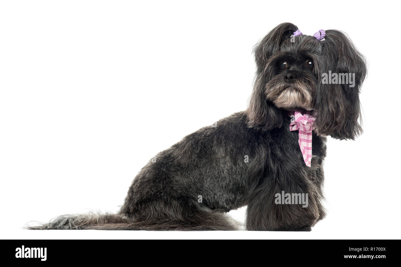 Siude view of a Lhassa apso looking back, isolated on white - Stock Image