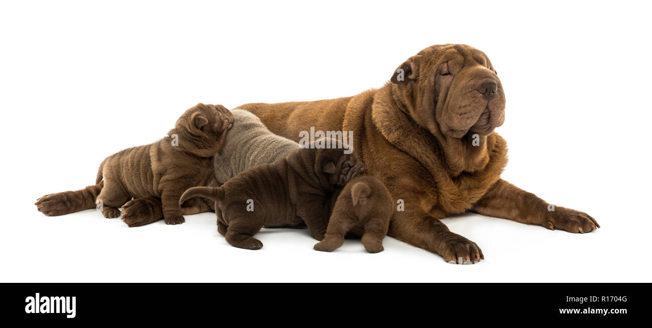 Shar Pei mom lying down, breastfeeding her puppies, isolated on white - Stock Image