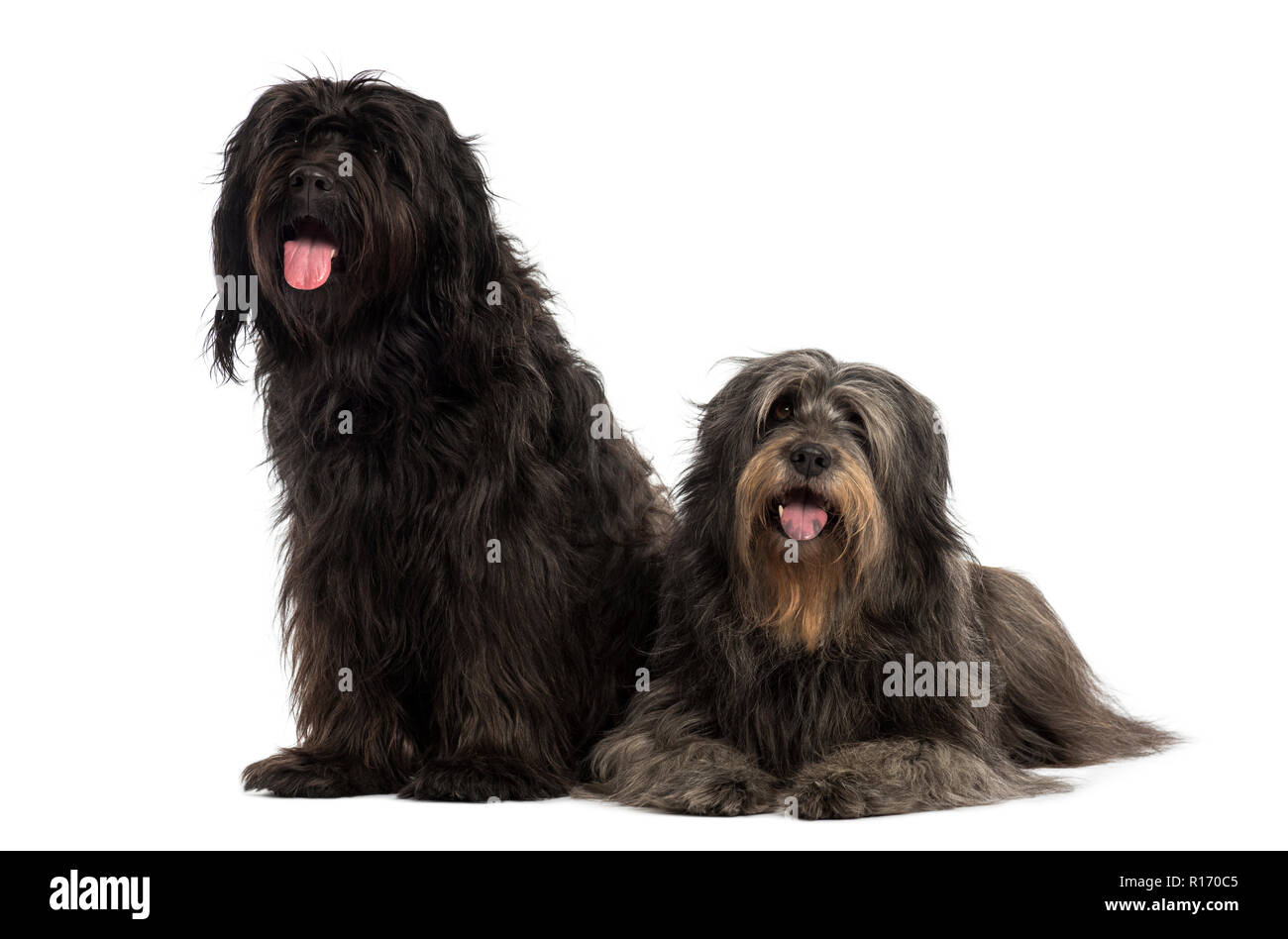 Couple of Catalan sheepdogs being together, panting, isolated on white - Stock Image