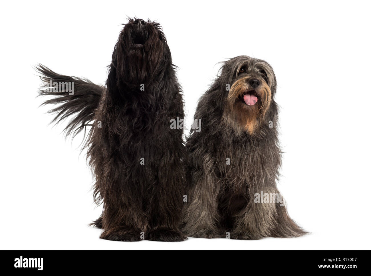 Couple of Catalan sheepdogs together barking and panting, isolated on white - Stock Image