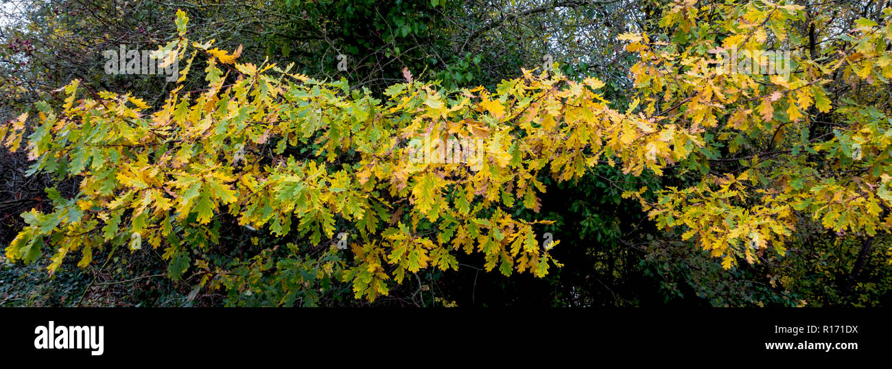 Branch of English oak Quercus robur leaves turning yellow in autumn - Stock Image