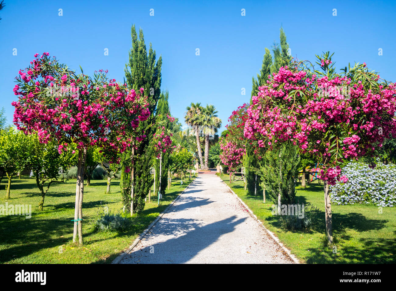 popular italian cerise pink tree, Nerium oleander pompeii italy, lush summer concept, bright colours of nature concept, vacation, trees plants, I Stock Photo